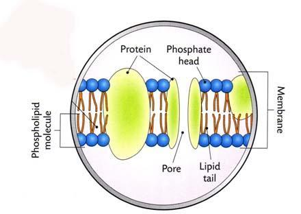 Cell Membrane Cell Membranes are made up of phospholipids and proteins The
