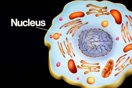Nucleus A large organelle near the center of the cell is the NUCLEUS.
