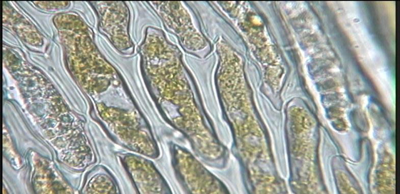 Chloroplasts The function of
