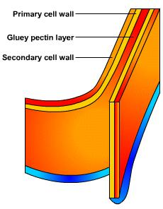 Cell wall The cell wall is rigid and gives plant cells a very defined shape.