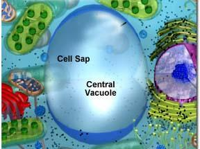 Vacuoles Vacuoles are membrane-bound sacs within the cytoplasm of a cell Vacuoles provide structural support, as