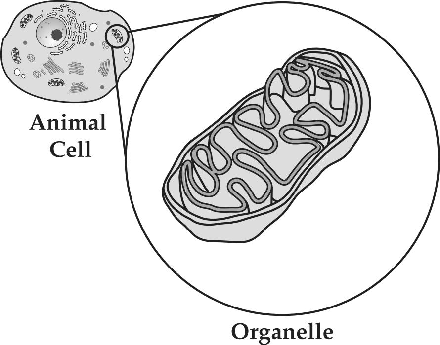 36. Use the information and diagram below to answer the following question(s). Animal cells contain an organelle that helps release energy. A diagram of this organelle is shown below.
