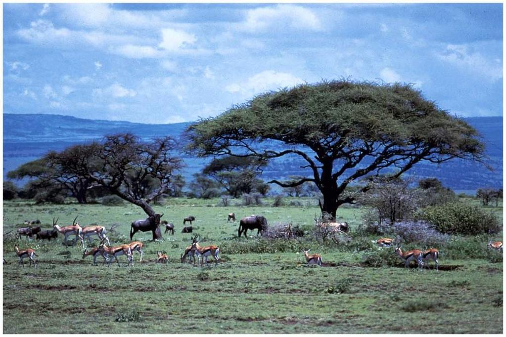 Savanna Soil low in nutrients due to leaching Vegetation Wide expanses of grass, occasional Acacia trees