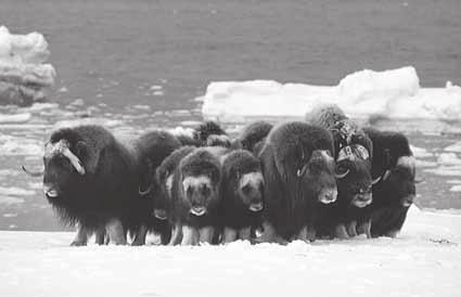 Infer Why do you think it would be difficult for predators to attack animals in a herd? 2. Travel in Groups Some animals, such as musk oxen, travel in herds, or groups.