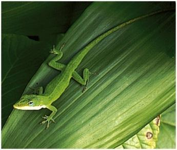 Ex: Green Anole and Brown