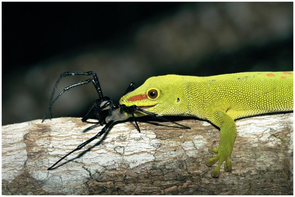 D. Pursuit - Pursuing prey- chasing prey down and catching it Ex: Day gecko and spider
