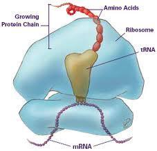 #3 Ribosomes Site of protein