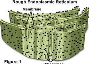 #4 Endoplasmic Reticulum Rough ER