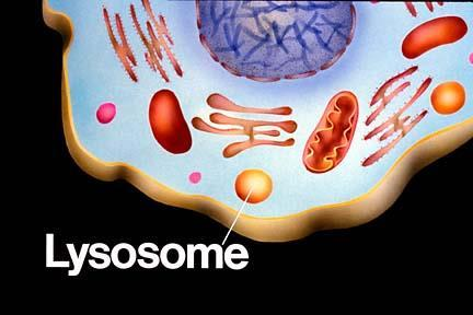 Purpose: digestion for the cell. A membrane bound organelle (only in animals) containing various enzymes.