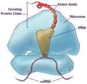 Inside the Eukaryotic Cell The Nucleus Houses the DNA The brains of the cell Tells the cell what to do!