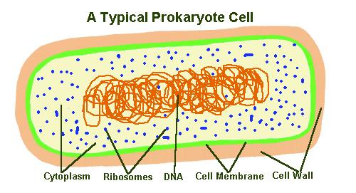 Prokaryotic Cells A prokaryotic cell is simple, they make up UNICELLULAR organisms