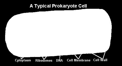 the cytoplasm. Ribosomes and enzymes share the cytoplasm with the DNA.