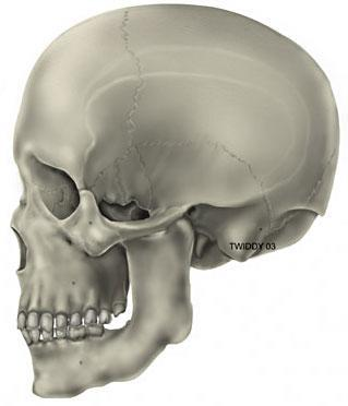 human and chimpanzee skulls are composed not of a single bone, but a fusion of multiple bones that