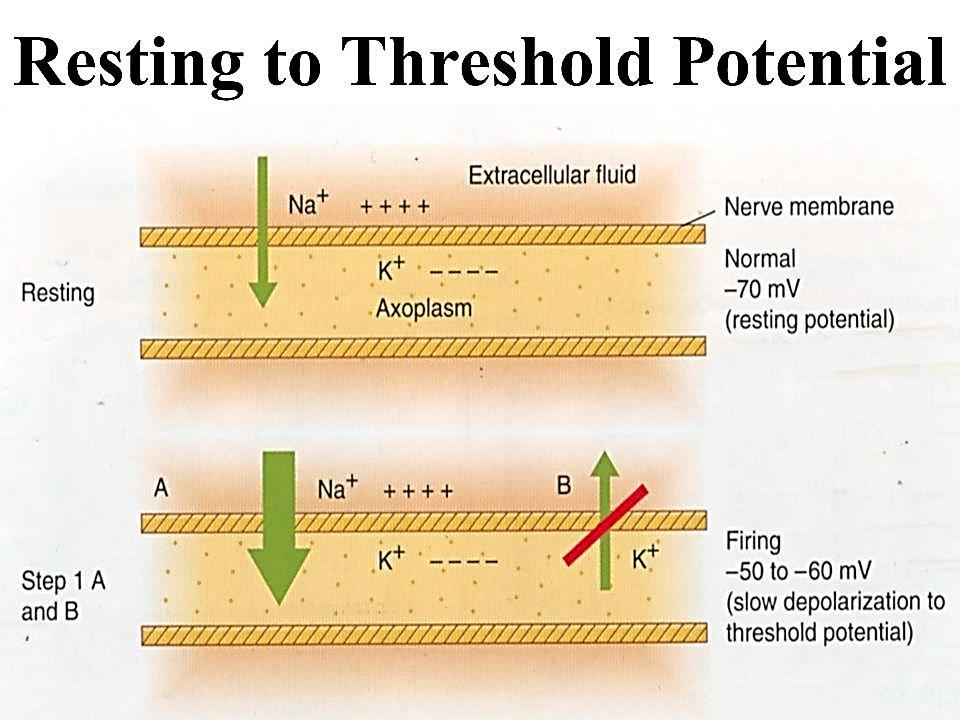 The threshold potential is the critical level to which a membrane potential must be depolarized to initiate an action potential.