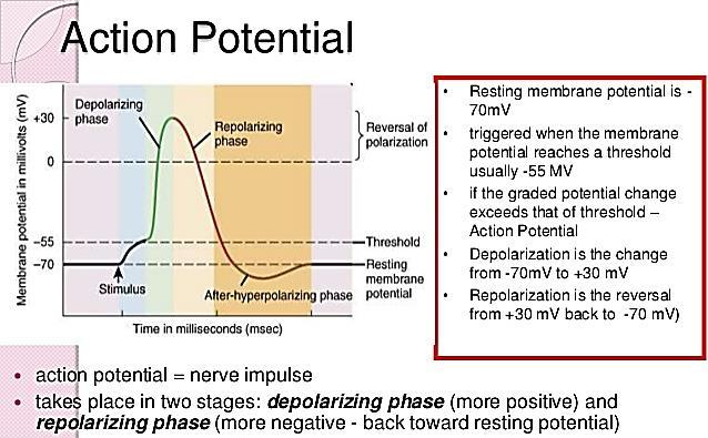 Action potential Depolarization: Na channels open