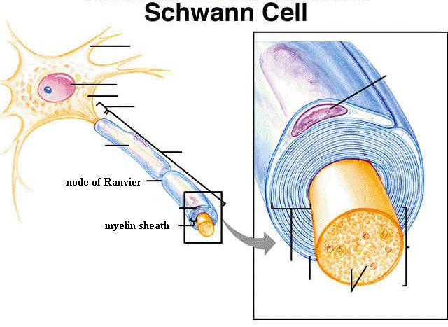 Additional Schwann cell functions include the promotion of both peripheral and central nervous system regeneration, provision of a versatile source of trophic factors, the capacity to remyelinate