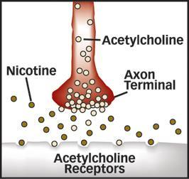 In the central nervous system acetylcholine is believed to be involved in learning, memory, and mood.