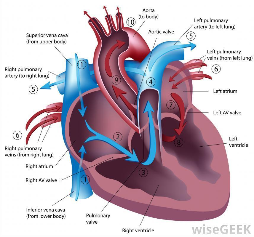 Pathway of blood Blood enters the heart through 1. Vena cava (1). From there it continues to the: 2. Right atrium ( then pass right AV valvetricuspid valve) 3.