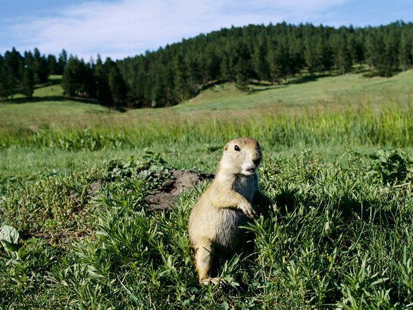 Prairie dogs live in temperate grasslands.
