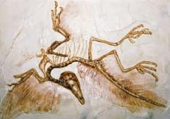 dinosaurs. Archaeopteryx is the name that has been given to one ancestral bird species. The fossil and a reconstruction are shown in Figure 21.