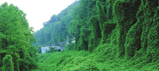 Kudzu Plants can be invasive, too. Kudzu was introduced to the United States from Japan in 1876.