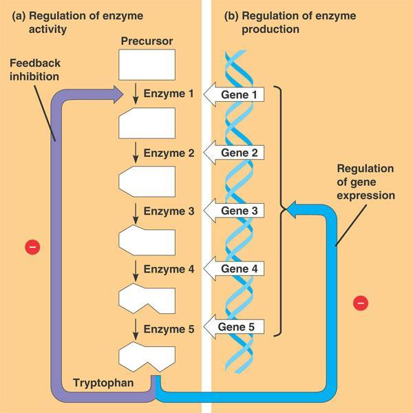 Regulation of Gene Expression Prokaryotic Gene Regulation A typical scenario: An individual bacteria can respond