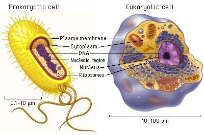 Two Major Cell Types Prokaryotic cells (Streptococcus, E.coli, etc.