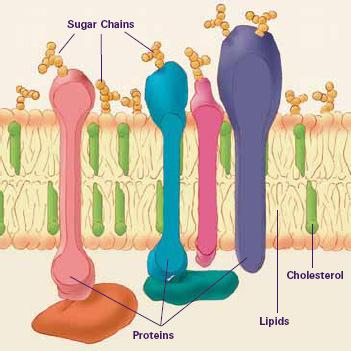 Extra Slides Cell (Plasma) Membrane A bilayer lipid surrounding nucleus.