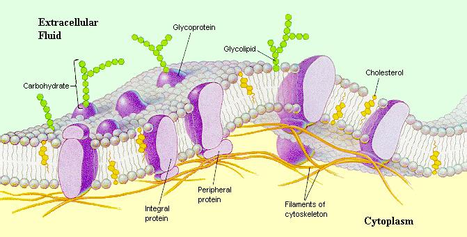the cell to maintain chemical homeostasis.