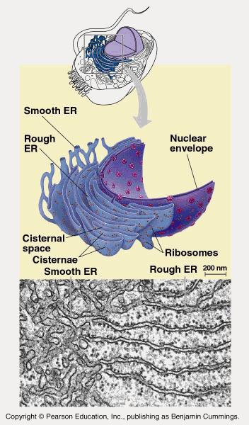 Endoplasmic reticulum (ER) Endoplasmic