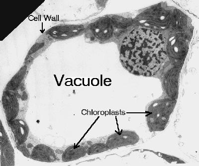 Plant Cell Vacuole Vacuole Animal Cell: Amoeba