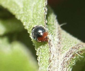 voracious, but able to forage on ant-tended aphids Widely distributed