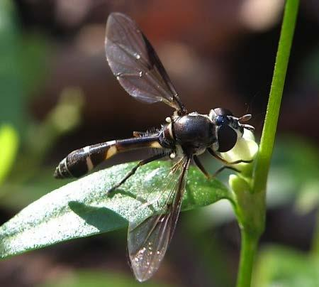Syrphidae Highly specialized aphid predators Hover flies use both olfactory and visual cues to find