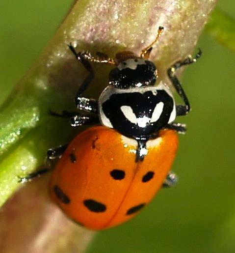 Coccinellidae: Hippodamia convergens High aphid consumption / reproductive rate Drought tolerant