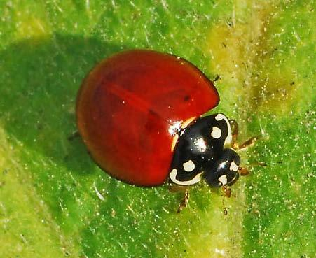 aphids and psyllids Related species, Cycloneda munda, has more northern distribution