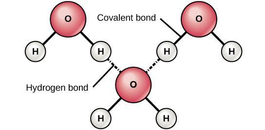 This makes a water molecule polar: δ- oxygen end δ+ hydrogen end Because water is a polar molecule, it can form hydrogen bonding with other water molecules: A hydrogen bond is formed when a δ+