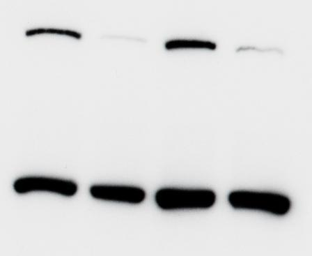 Blots shown are for MCF 10 cells infected with the lentiviral vectors for Ku70 (left) and Ku80 (right), and are compared with blots of plv cells transduced with an empty vector (mock-infected control