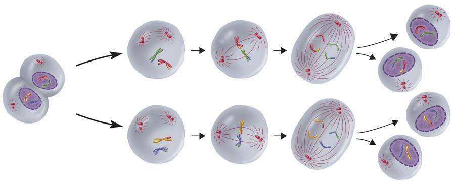 Phases of Meiosis Meiosis II Telophase I and Cytokinesis I Meiosis II