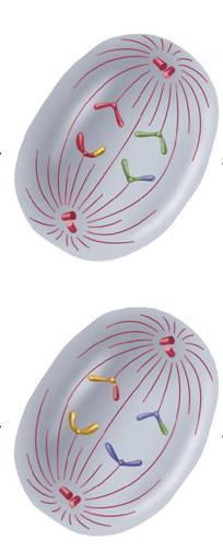 Phases of Meiosis The sister chromatids separate and move