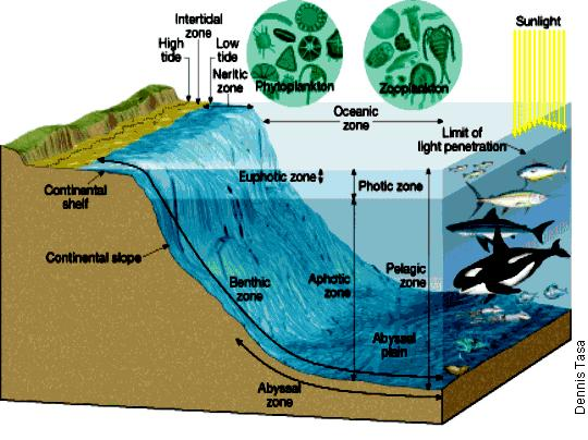 Marine/Ocean - habitat where the fresh water of a river meets the salt water of the ocean. They are shallow, sunlit, and nutrient rich.