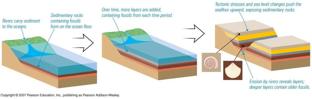 Sedimentary strata Important in the study of Earth s history 1) because it may contain intact fossils 2) it forms in a way that tends to produce a record of time Erosion of land -> carried by rivers