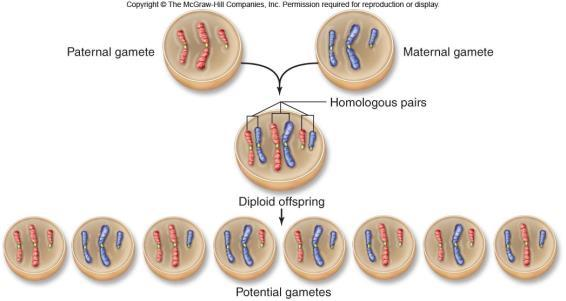 At the end of Meiosis II, are the in the duplicated state? Three events are unique to meiosis, and all three occur in meiosis l 1. Yes 2.