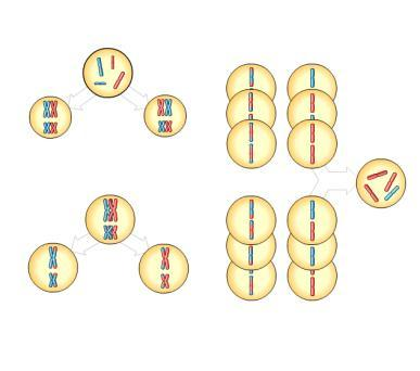 11-4 Prophase I of meiosis Pair of homologs Nonsister chromatids held together during synapsis Figure 13.
