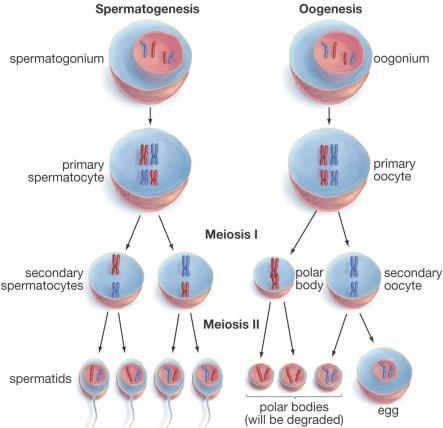 One cell produces 4 sperm.