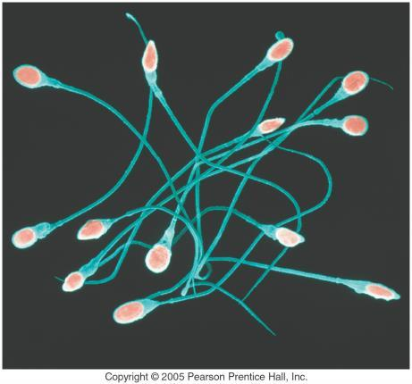 The sperm need to contain the genetic material and deliver it to the egg.
