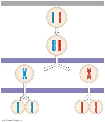 Meiosis the chromosome homologous pairs separate and the cell divides = 1 st cell division Then the chromatids separate and cell divide = 2 cd cell division Two nonsister chromatids in a homologous