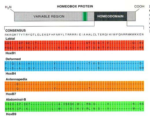 Homeodomains are highly similar 60 amino acid regions of proteins made by all homeobox gene.