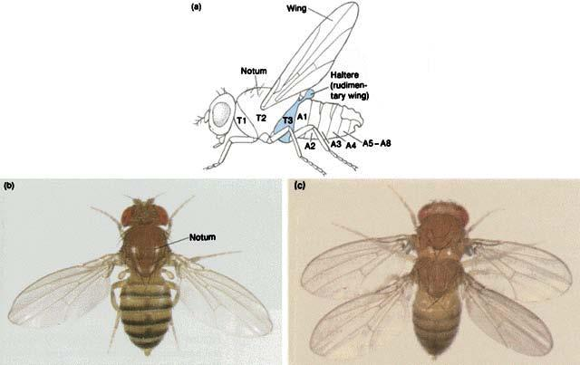 Homeotic genes homeobox originally named for Drosophila homeotic genes: mutations in these genes transform one body part into another genes with a homeobox often are involved as developmental