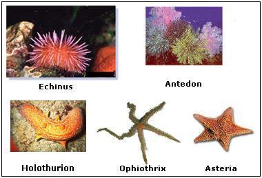 Echinoderms are exclusively marine animals.