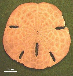Echinoderms do not have a bilateral body plan with a distinct head and tail.